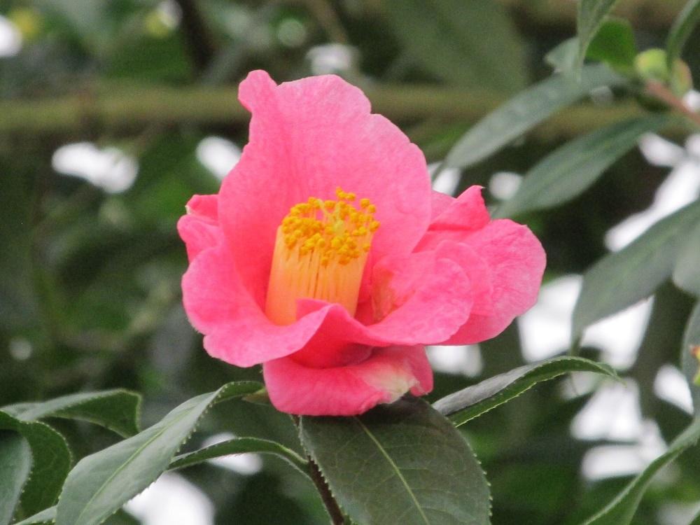 短軸紅山茶 (1)