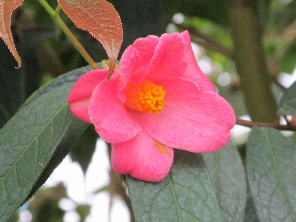 石果紅山茶 (1)