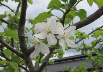 R1.5.6 リンゴの花 (3)